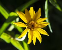 Gele Zinnia Flower op Zwarte Achtergrond stock afbeelding