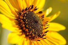 gele zonnebloem royalty-vrije stock foto