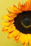 Gele zonnebloem Royalty-vrije Stock Afbeelding