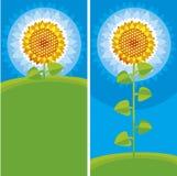 Gele zonnebloem Royalty-vrije Stock Afbeeldingen