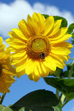 gele zonnebloem Stock Foto