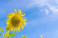 Gele zonnebloem in blauwe hemel Stock Afbeelding