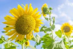Gele zonnebloem in blauwe hemel Stock Afbeeldingen