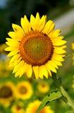Gele Zonnebloem de Zuid- van Carolina Royalty-vrije Stock Afbeelding
