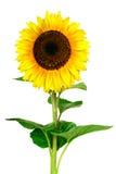 Gele zonnebloem die op witte achtergrond wordt geïsoleerde Royalty-vrije Stock Foto
