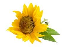 Gele zonnebloem die op witte achtergrond wordt geïsoleerde royalty-vrije stock fotografie