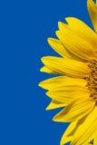 Gele zonnebloem en heldere blauwe hemel Stock Afbeeldingen