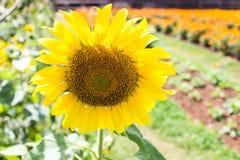 Gele zonnebloem in het licht van de tuinaard stock foto's