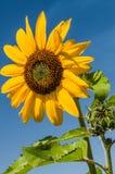 Gele zonnebloem met blauwe hemelachtergrond Royalty-vrije Stock Fotografie