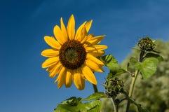 Gele zonnebloem met blauwe hemelachtergrond Stock Afbeeldingen