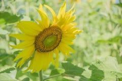 Gele zonnebloem op een gebied Stock Fotografie