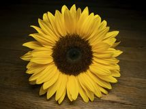 Gele Zonnebloem op een Houten Oppervlakte Royalty-vrije Stock Afbeelding