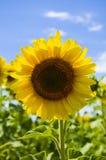 Gele zonnebloem op het gebied Royalty-vrije Stock Foto