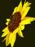 Gele zonnebloem op zwarte achtergrond Royalty-vrije Stock Afbeeldingen
