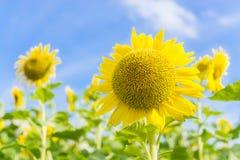 gele zonnebloem in tuin Stock Afbeeldingen