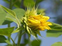 Gele zonnebloem, zoals kus Royalty-vrije Stock Afbeeldingen