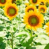 gele zonnebloembloei op gebied in Val de Loire Royalty-vrije Stock Afbeelding