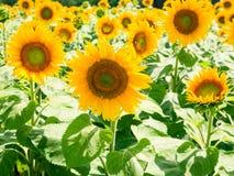 Gele zonnebloembloemen op gebied in Val de Loire Stock Fotografie
