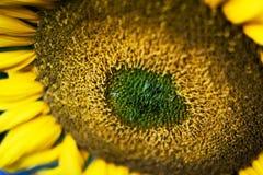 Gele zonnebloemen Royalty-vrije Stock Afbeeldingen