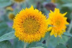 Gele zonnebloemen in een weideclose-up stock foto's