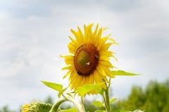 Gele zonnebloemen op de achtergrond van de de zomerhemel royalty-vrije stock afbeelding