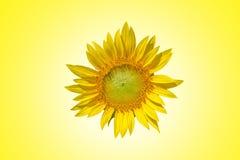 Gele zonnebloemen op de gele tonen van de achtergrondstijlpastelkleur Stock Foto