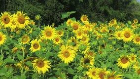 Gele zonnebloemen op een de zomerdag stock video