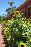 Gele zonnebloemen op een gebied in de zomer Stock Foto's