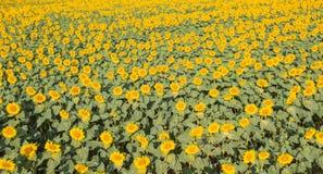 Gele zonnebloemen Prachtig landelijk landschap van zonnebloemgebied in zonnige dag Hommel luchtmening royalty-vrije stock afbeelding