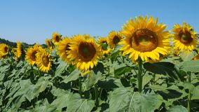 Gele zonnebloemen Prachtig landelijk landschap van zonnebloemgebied in zonnige dag stock footage