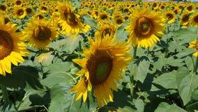 Gele zonnebloemen Prachtig landelijk landschap van zonnebloemgebied in zonnige dag stock videobeelden