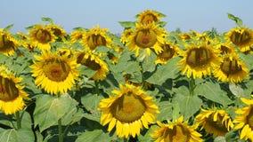 Gele zonnebloemen Prachtig landelijk landschap van zonnebloemgebied in zonnige dag stock video