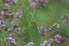 Gele zwarte gestreepte spin in midden van de bloeiende munt stock foto's
