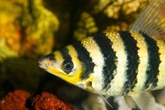 Gele zwarte gestreepte vissen in een aquarium royalty-vrije stock afbeeldingen