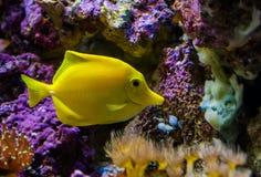 Gele zweempjevissen, één van de populairste vissen in aquicultuur, tropische vissen van Hawaï royalty-vrije stock fotografie