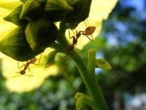 Gelegentlicher Makroschuß einer Ameise unter einer gelben Blume Stockfoto