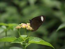 Gelegentlicher Makroschuß eines Schmetterlinges auf einer Blume Stockfotos