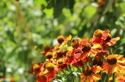 Gelenium - τα υψηλά λουλούδια φθινοπώρου, ανθίζουν πορτοκαλιά λουλούδια Στοκ εικόνα με δικαίωμα ελεύθερης χρήσης
