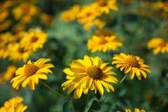 Gelenium ampuły żółci kwiaty Zdjęcie Royalty Free