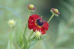 Gelenium blossom bud Royalty Free Stock Images