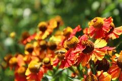 Gelenium - hohe Herbstblumen, blühen orange Blumen Stockfotografie