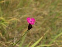 Gelidus del Dianthus Immagini Stock Libere da Diritti