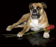 Geliebtbulldogge mit seinen Rosen Lizenzfreies Stockfoto