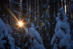 Gelijk makend in het donkere bos, Kerstmis Zonstralen in dark Nieuw die jaar, in sneeuw wordt behandeld De nette die bomen van de Stock Foto's