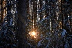 Gelijk makend in het donkere bos, Kerstmis Zonstralen in dark Nieuw die jaar, in sneeuw wordt behandeld De nette die bomen van de Royalty-vrije Stock Fotografie