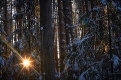 Gelijk makend in het donkere bos, Kerstmis Zonstralen in dark Nieuw die jaar, in sneeuw wordt behandeld De nette die bomen van de Stock Afbeeldingen