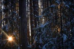 Gelijk makend in het donkere bos, Kerstmis Zonstralen in dark Nieuw die jaar, in sneeuw wordt behandeld De nette die bomen van de Royalty-vrije Stock Afbeelding