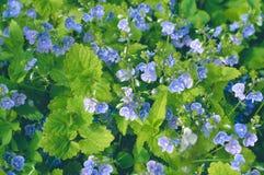 Gelijktijdig heldere en zacht blauwe bloemen stock foto