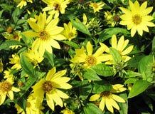 Geliopsis (Heliopsis helianthoides), family Astera Stock Image