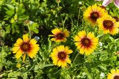 Geliopsis solar de la flor en jardín Fotos de archivo libres de regalías